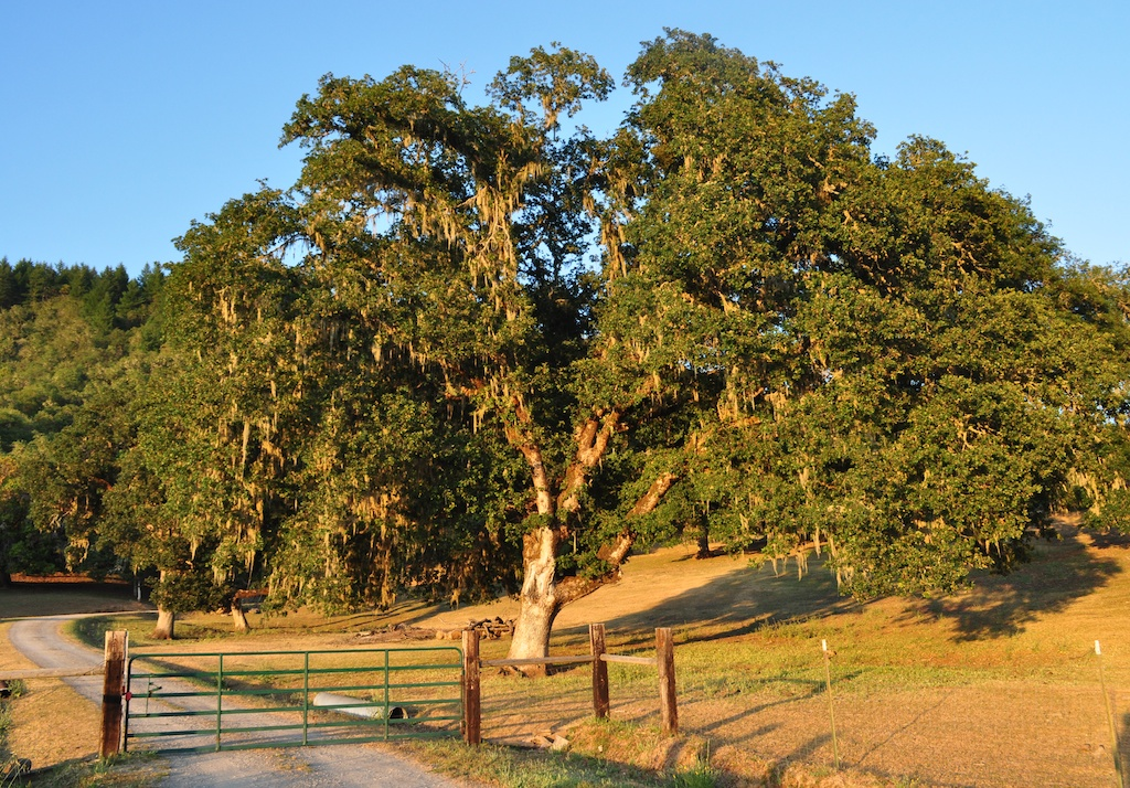 Even the Valley Oaks were